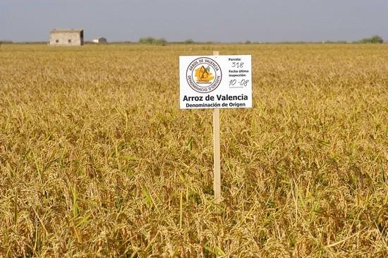 Champs de riz a paella de la Albufera Cullera Sueca avec logo