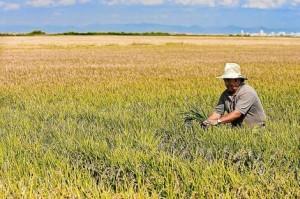 Champ de riz de Valencia