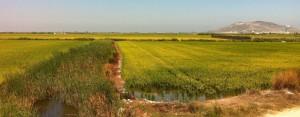 Champs de riz a paella de la Albufera Cullera Sueca